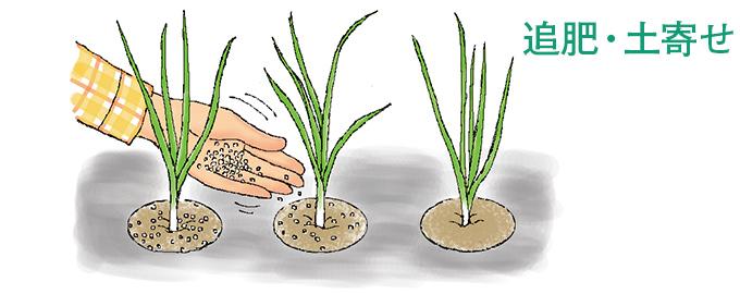 玉ねぎ の 追肥