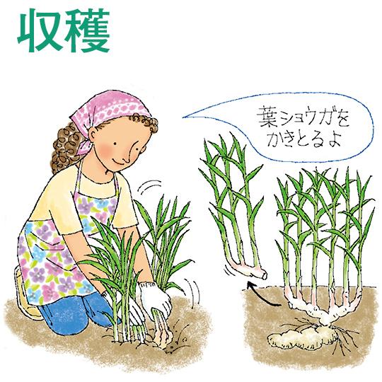収穫 時期 生姜